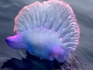 Medusak hondartzak medusas
