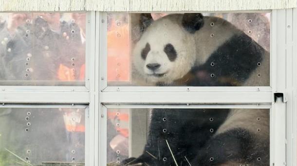 [Imagen: oso-panda-belgika-EFE_foto610x342.jpg]