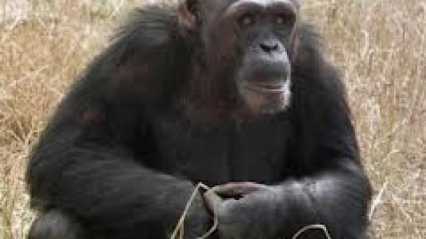 Los chimpancés se identifican más con humanos que con monos. Foto: EFE